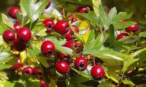 Боярышник – полезные свойства, показания к применению