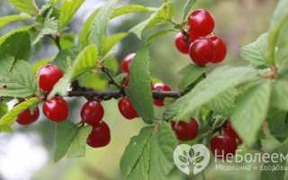 Войлочная вишня — состав, полезные свойства, рецепты