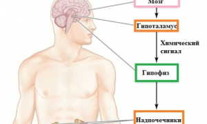Норма кортизола у женщин и мужчин в крови и моче
